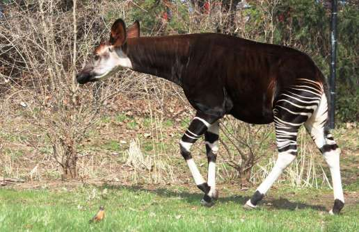 okapi-animal-du-congo